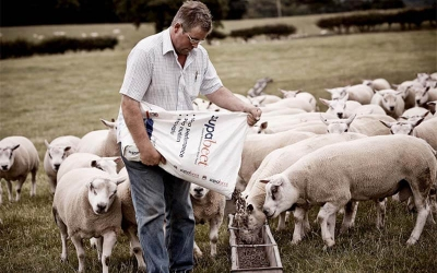 Feed Sheep with Feed Pellets