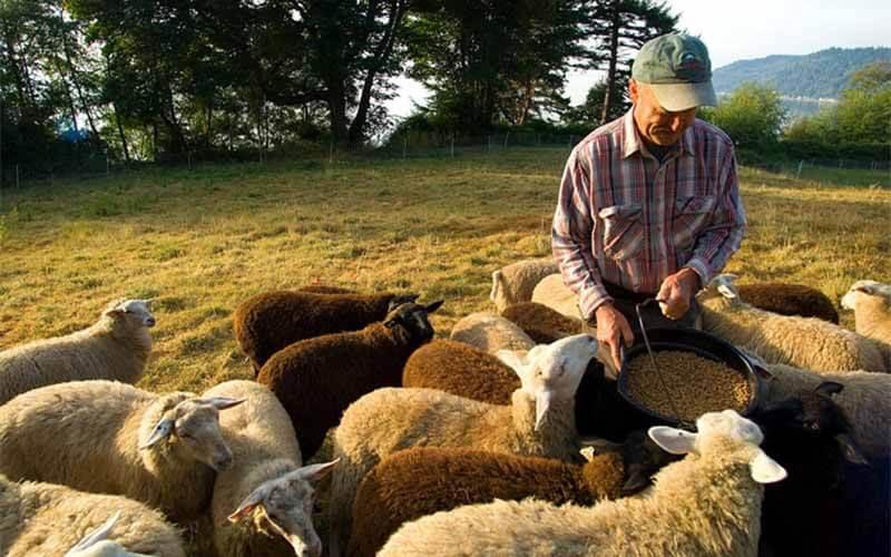 Perfect Sheep Feed