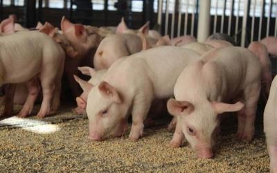 Pig Feed Pellet